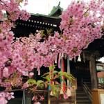 開花宣言、一足早く満開の桜をお届けします